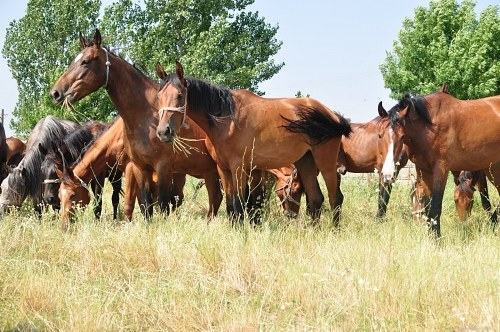 Herd of stallions eating grass