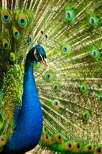 Free photos: Indian blue peacock