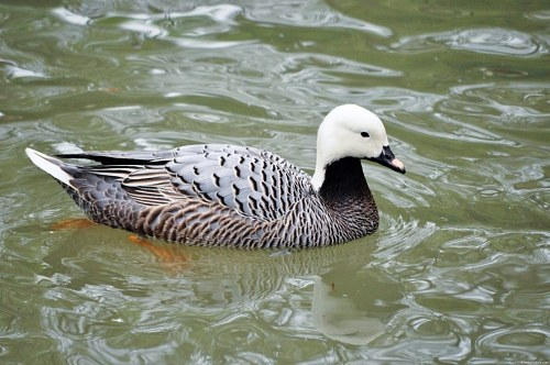 Magellan goose on lake
