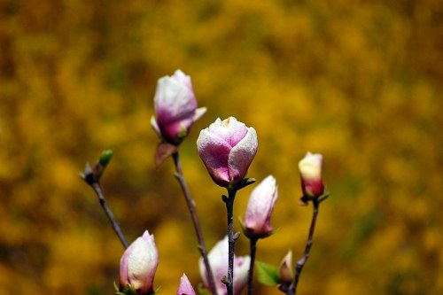 Free photos: Magnolia florescendo