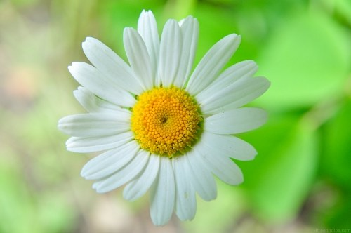 Marguerite flower