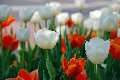 Free photos: Tulipanes multicolores