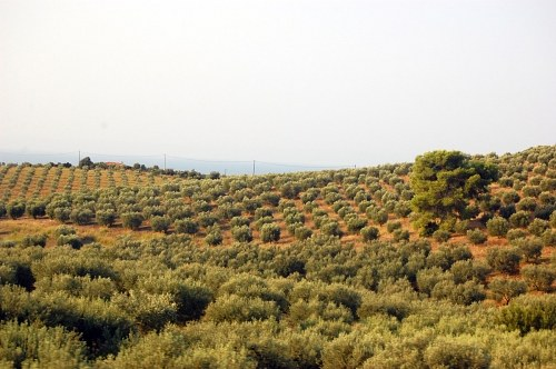 collines d'olive