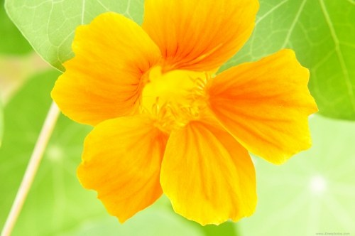 Orange Indian cress flower