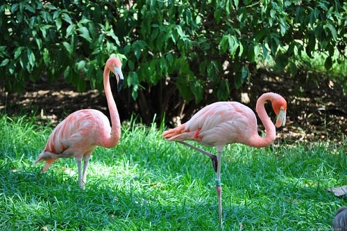 Pair of pinkflamingo birds
