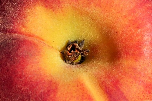Free photos: Peach closeup
