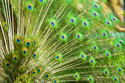 Free photos: Peacock multicolor plumage