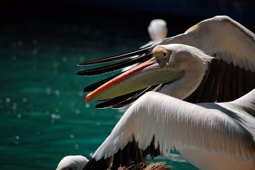 Pelicans at shore