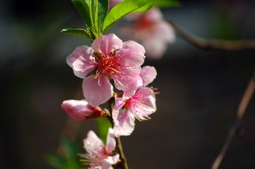 Pink blossomed apple flowers