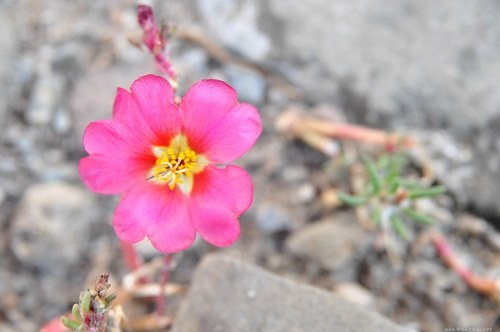 Pink flower in rocks