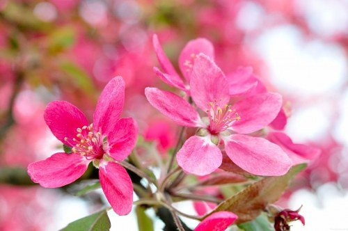 Pink pear tree flowers