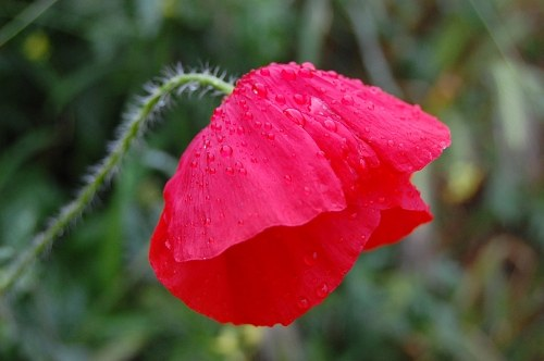 Free photos: Poppy during rain