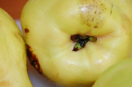 Free photos: Quince close-up