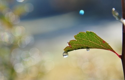 Rain drops falling from a leaf