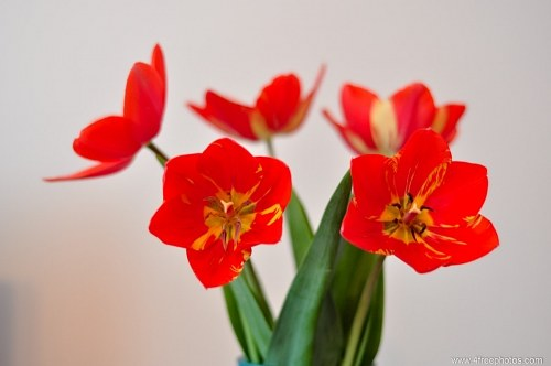 Red bloomed tulips in vase