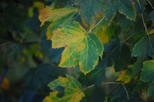 Red chestnut leaves