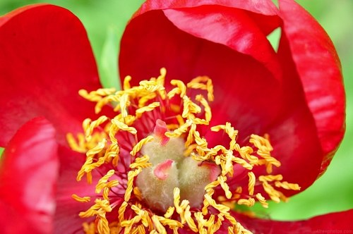 Free photos: Red Pfingstrose in voller Blüte