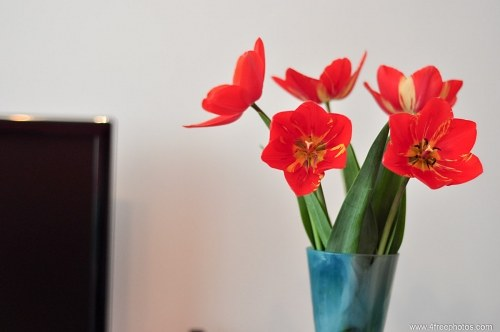 Free photos: Tulipanes rojos en florero