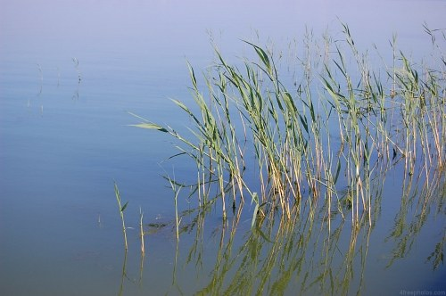 Reed in a lake