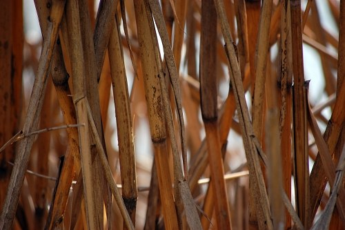 Reed on side of a pond
