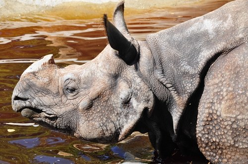 Rhino cooling off in water