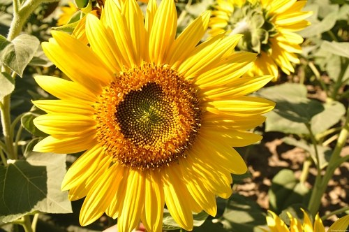 Round sunflower