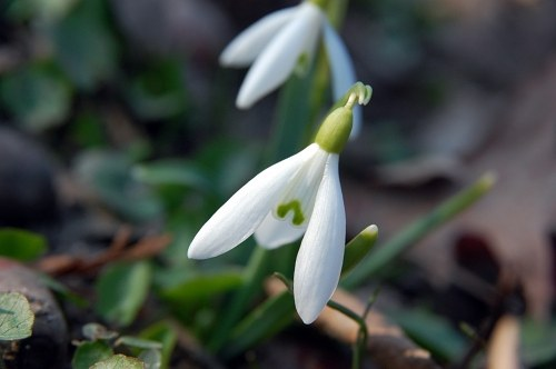Snowdrops in leafs