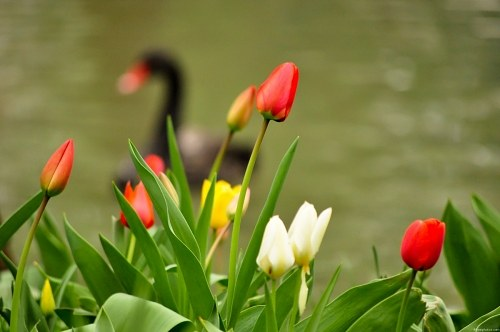 Spring tulips on the side of a lake