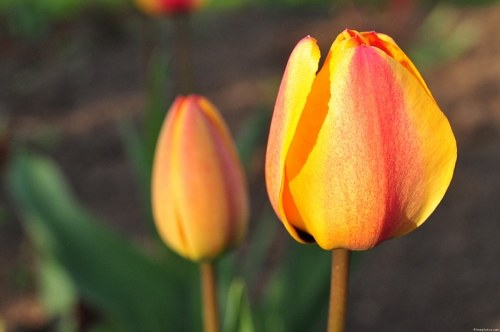 Free photos: Tulipes jaunes de ressort