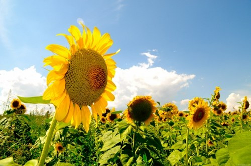 Free photos: Sunflower field