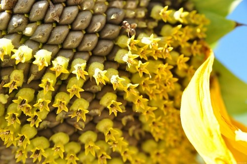 Free photos: Sunflower macro