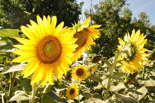 Free photos: Sunflowers field