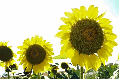 Free photos: Girasoli in un campo