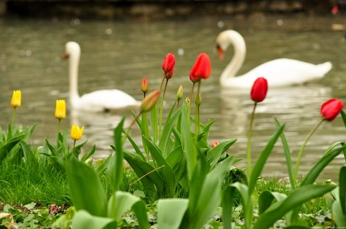 Swans and  tulips