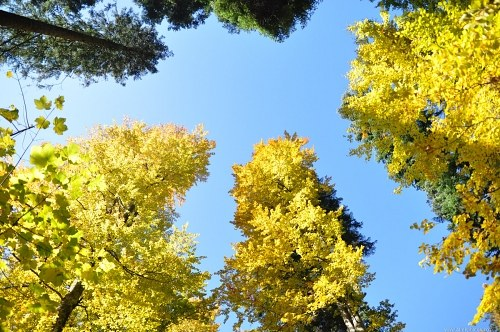 Tall yellow trees