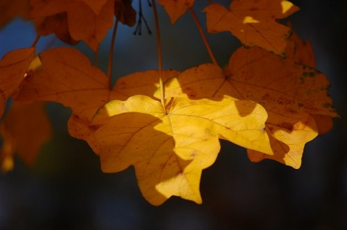 Three autumn leafs