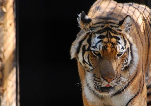 Free photos: Tiger in forest