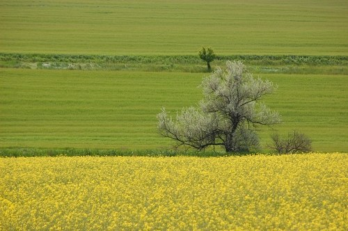 Free photos: Tree in mustard field
