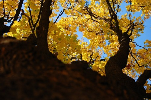 Tree with yellow leafs