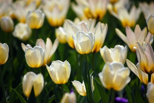 Free photos: Tulip garden