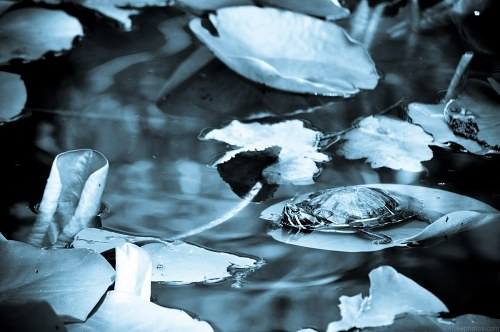 Free photos: Tortue sur une feuille de Lilly