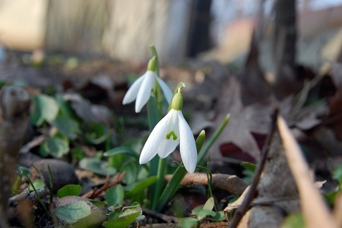 Two snowdrops in forest