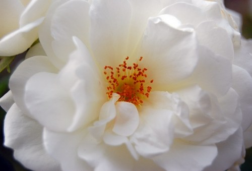 Free photos: White rose in bloom