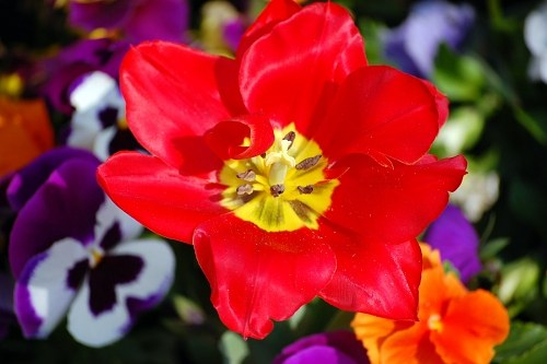 Free photos: Wide open tulip