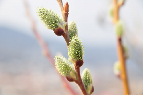 Free photos: Willow buds