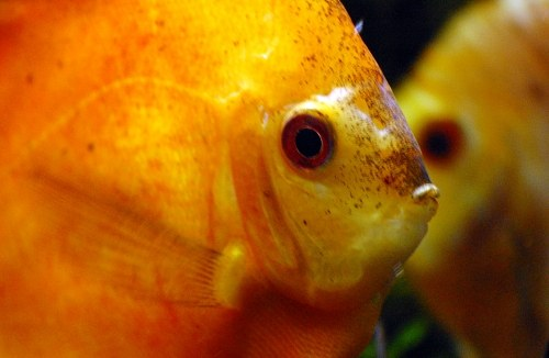 Free photos: Yellow fish head