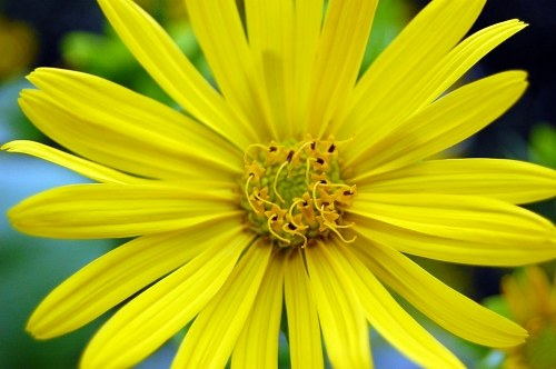 Free photos: Yellow flower with long petals