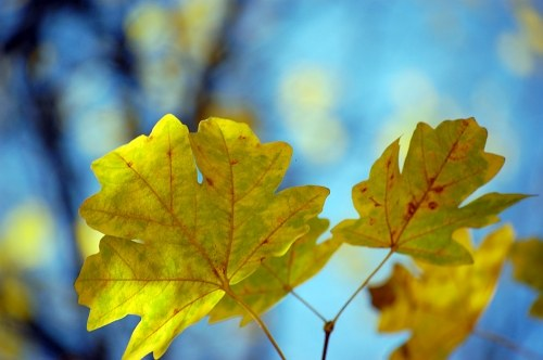Yellow leafs and sky