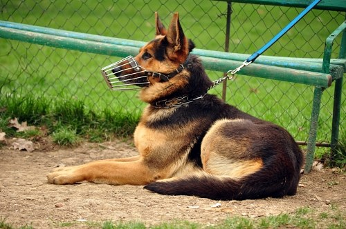 Free photos: Young german shepherd in park