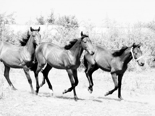 Young horses running